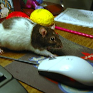 Rat with mouse